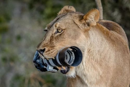 Lioness Steals a Canon DSLR for her Cubs